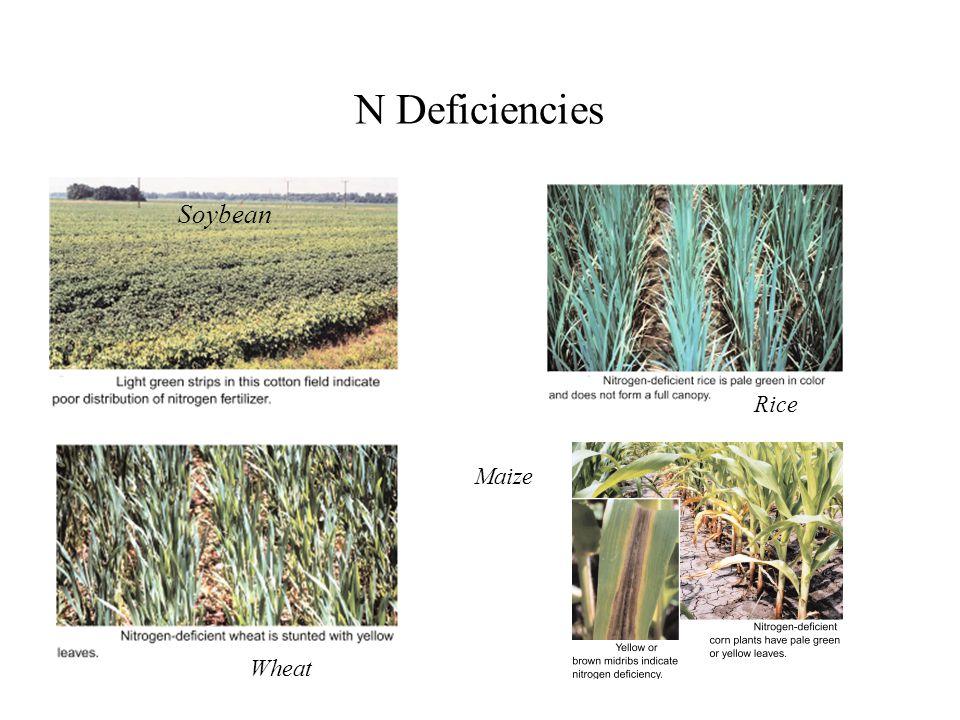 N Deficiencies Soybean Rice Maize Wheat