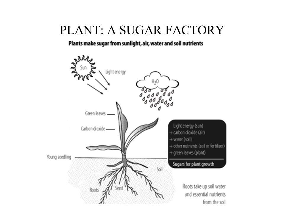 PLANT: A SUGAR FACTORY
