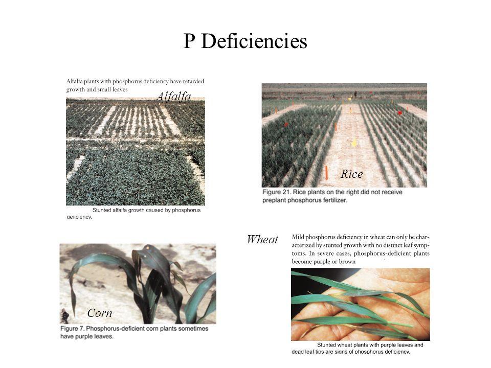 P Deficiencies Alfalfa Rice Wheat Corn
