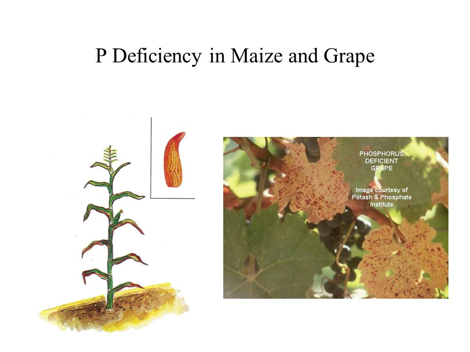 P Deficiency in Maize and Grape