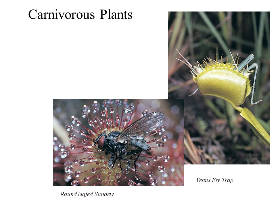 Carnivorous Plants Venus Fly Trap Round leafed Sundew
