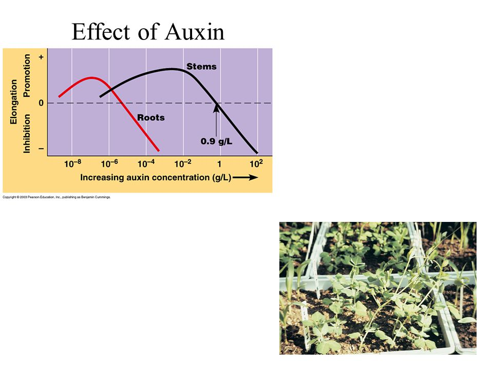 Effect of Auxin