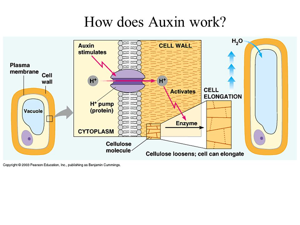 How does Auxin work