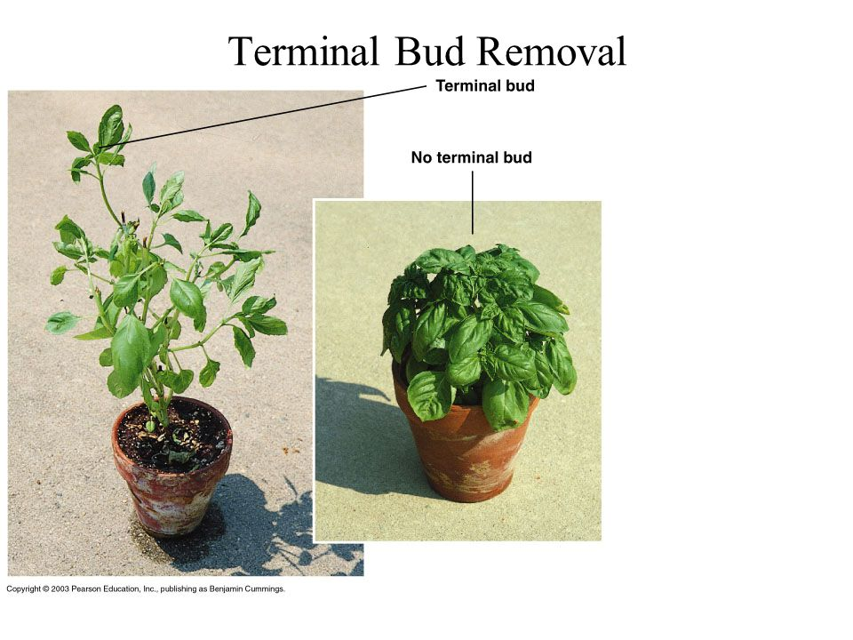 Terminal Bud Removal