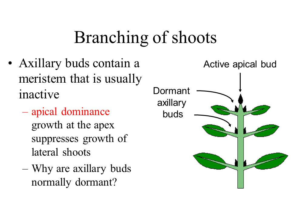 Branching of shoots Axillary buds contain a meristem that is usually inactive.