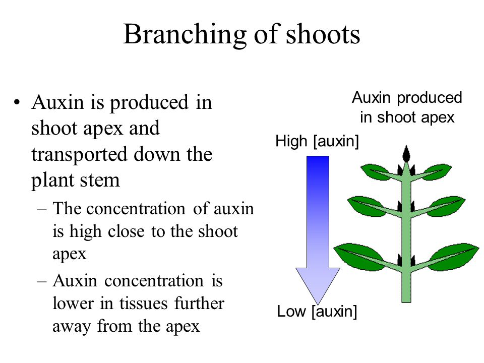 Branching of shoots Auxin is produced in shoot apex and transported down the plant stem. The concentration of auxin is high close to the shoot apex.