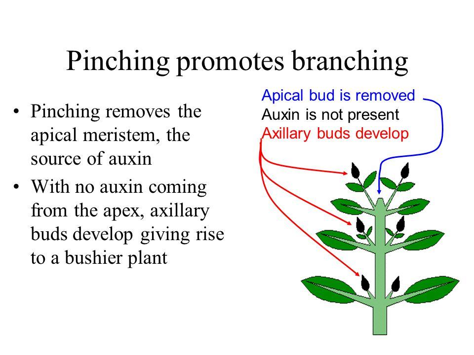 Pinching promotes branching