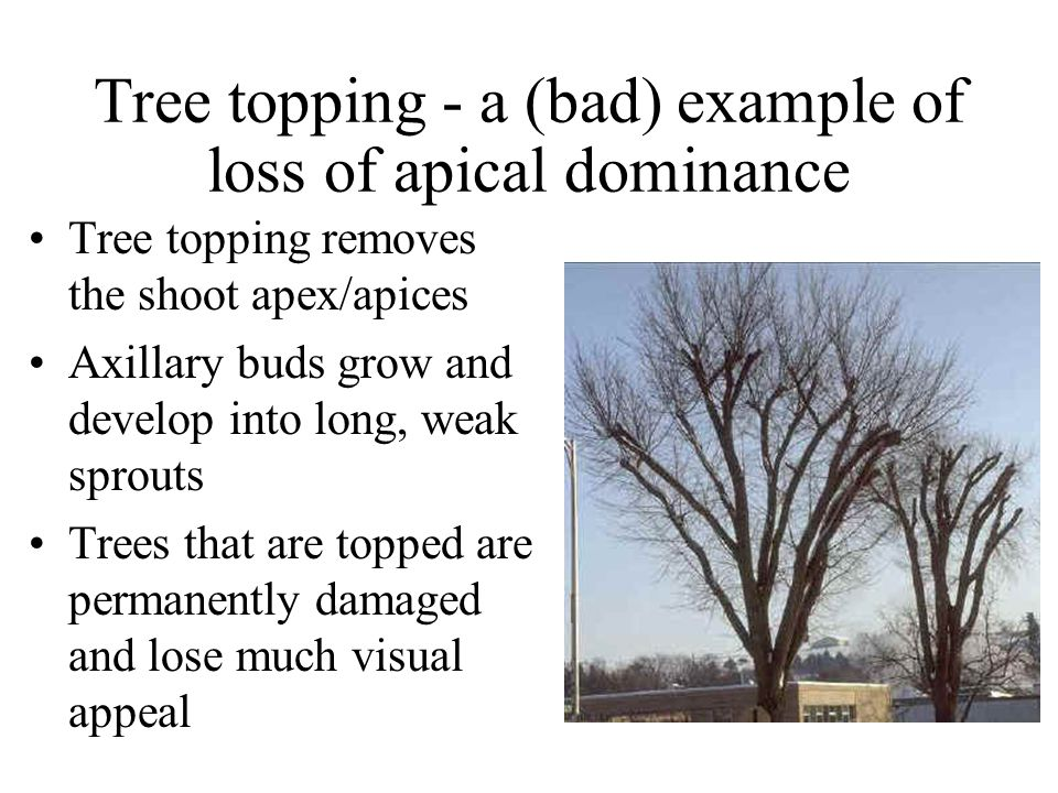 Tree topping - a (bad) example of loss of apical dominance