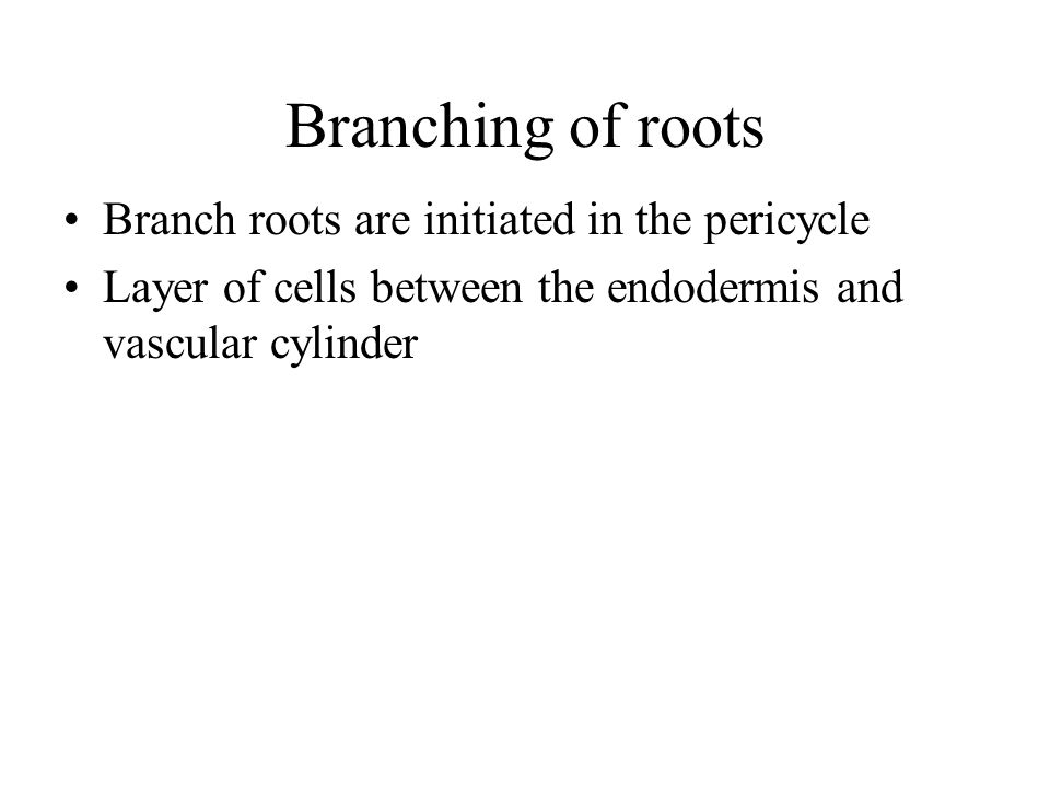 Branching of roots Branch roots are initiated in the pericycle