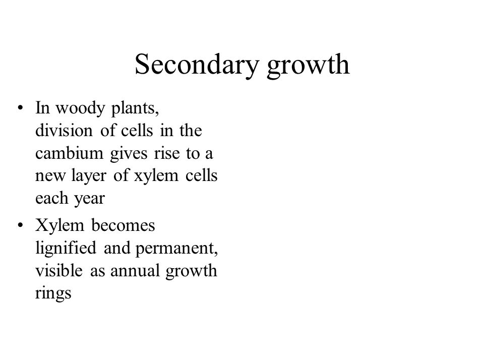 Secondary growth In woody plants, division of cells in the cambium gives rise to a new layer of xylem cells each year.