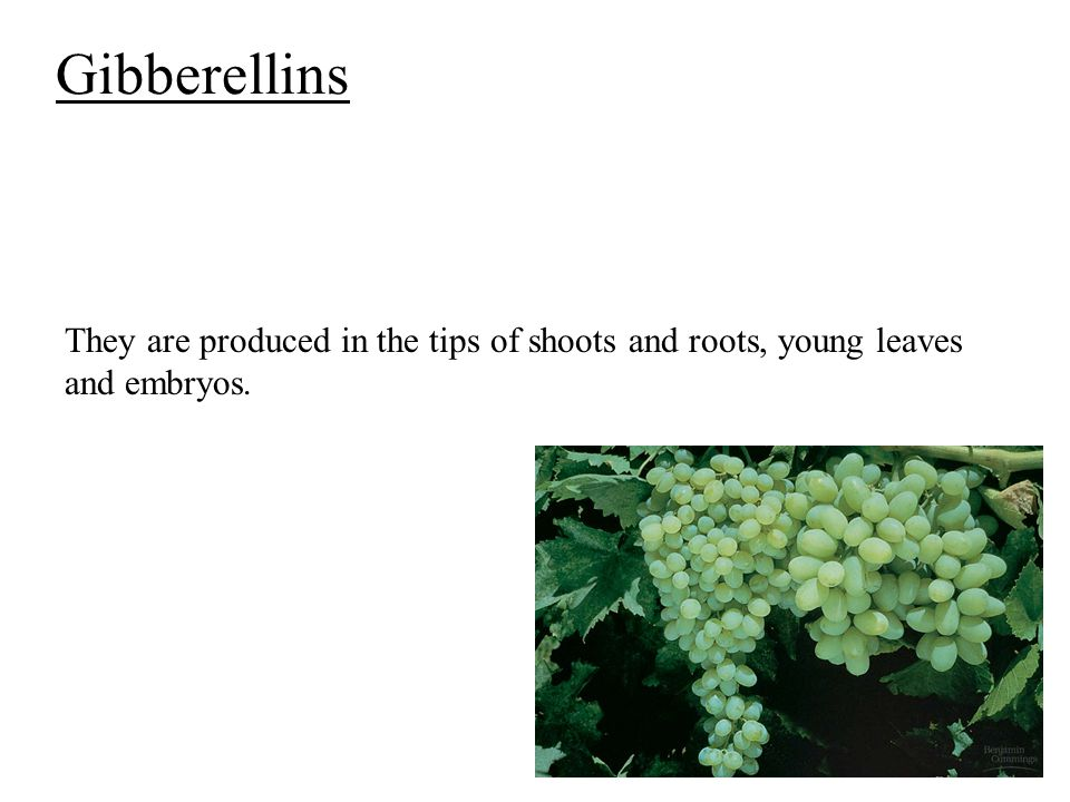 Gibberellins They are produced in the tips of shoots and roots, young leaves and embryos.