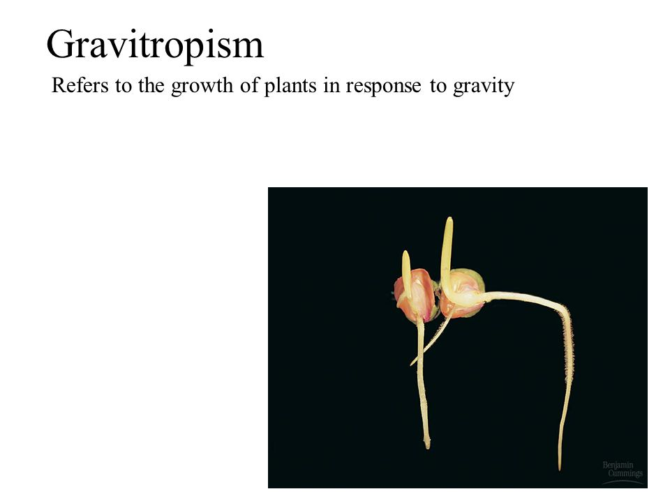 Gravitropism Refers to the growth of plants in response to gravity