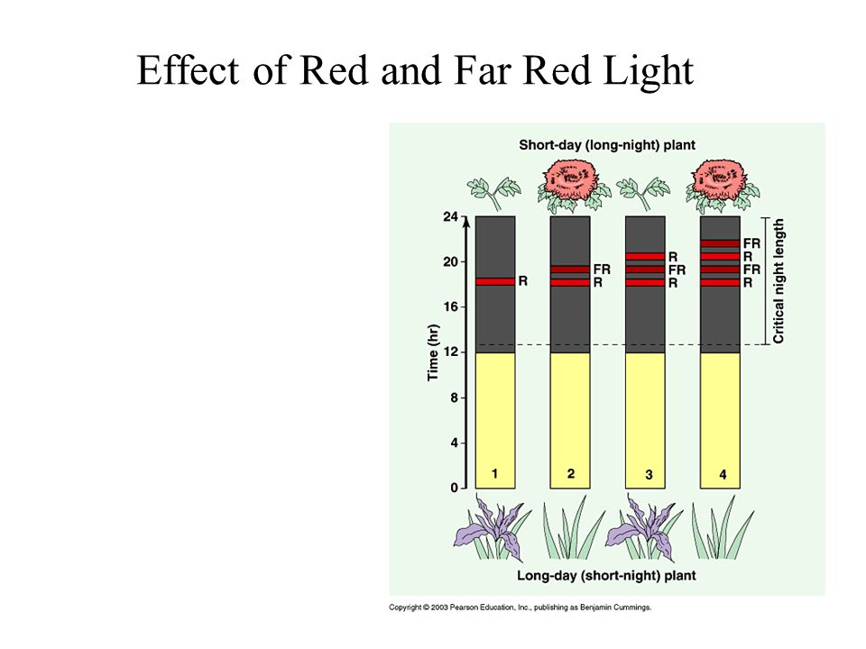 Effect of Red and Far Red Light