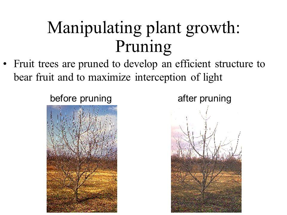 Manipulating plant growth: Pruning