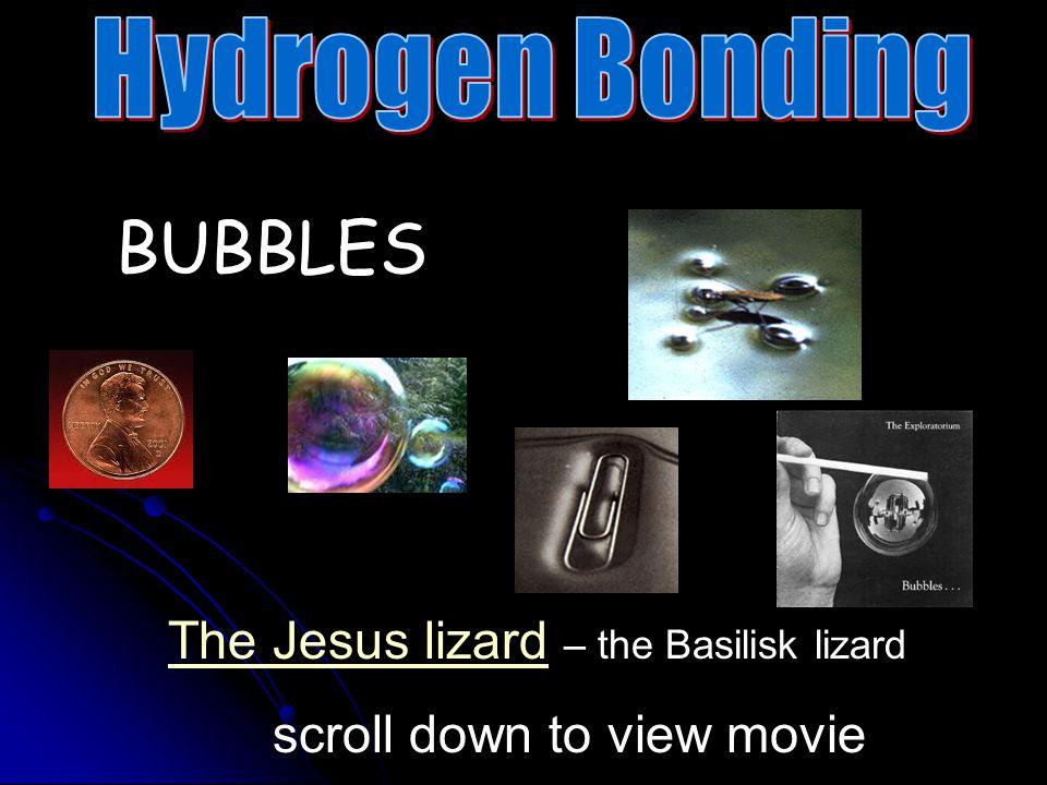 BUBBLES Hydrogen Bonding The Jesus lizard – the Basilisk lizard