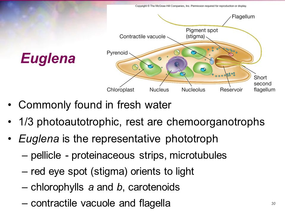 Euglena Commonly found in fresh water