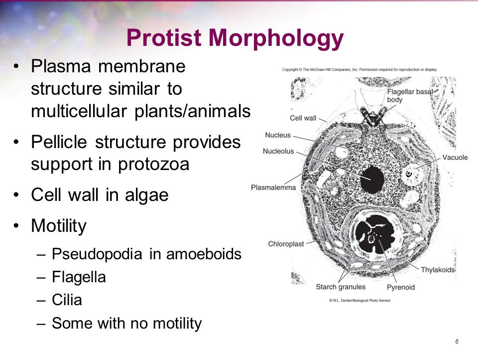 Protist Morphology Plasma membrane structure similar to multicellular plants/animals. Pellicle structure provides support in protozoa.