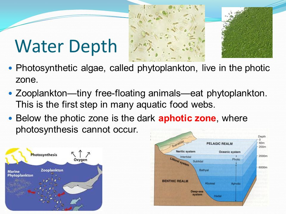 Water Depth Photosynthetic algae, called phytoplankton, live in the photic zone.