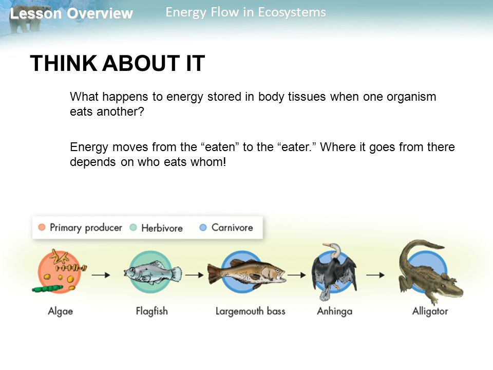 THINK ABOUT IT What happens to energy stored in body tissues when one organism eats another
