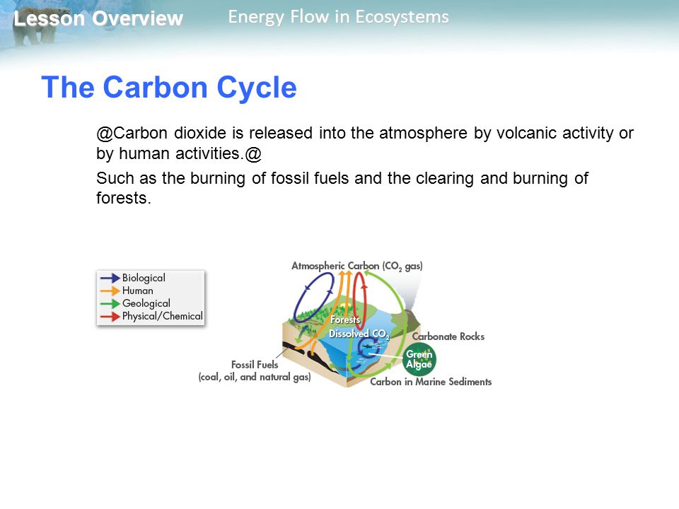 The Carbon Cycle @Carbon dioxide is released into the atmosphere by volcanic activity or by human activities.@