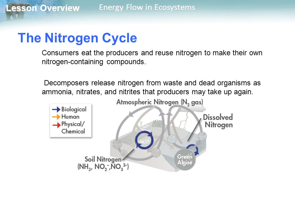 The Nitrogen Cycle Consumers eat the producers and reuse nitrogen to make their own nitrogen-containing compounds.