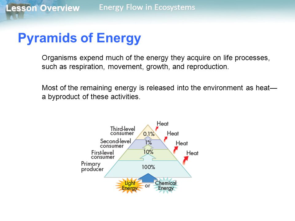 Pyramids of Energy Organisms expend much of the energy they acquire on life processes, such as respiration, movement, growth, and reproduction.