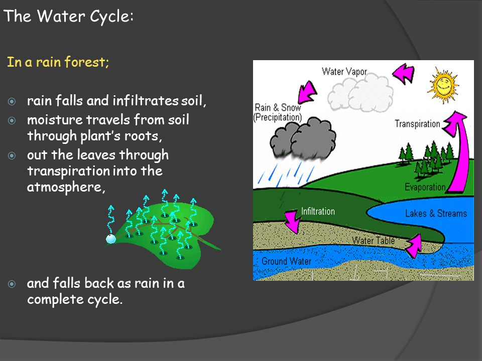 The Water Cycle: In a rain forest; rain falls and infiltrates soil,
