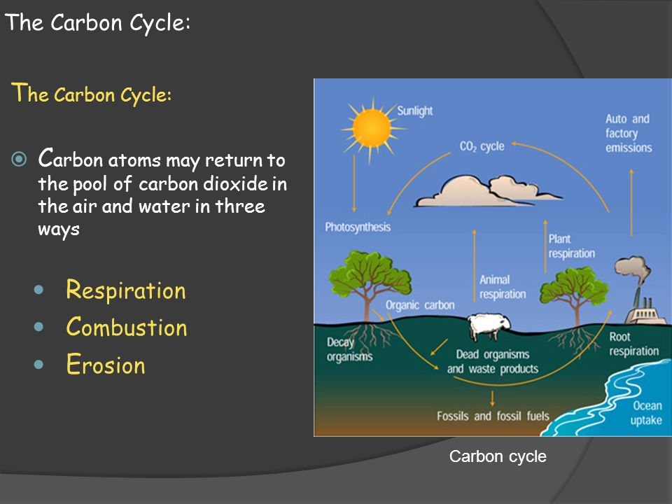 The Carbon Cycle: The Carbon Cycle: Carbon atoms may return to the pool of carbon dioxide in the air and water in three ways.