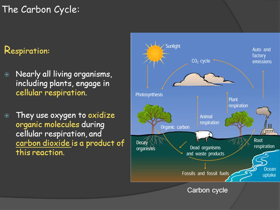 Respiration: The Carbon Cycle: