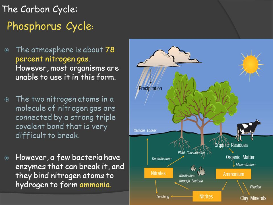 Phosphorus Cycle: The Carbon Cycle: