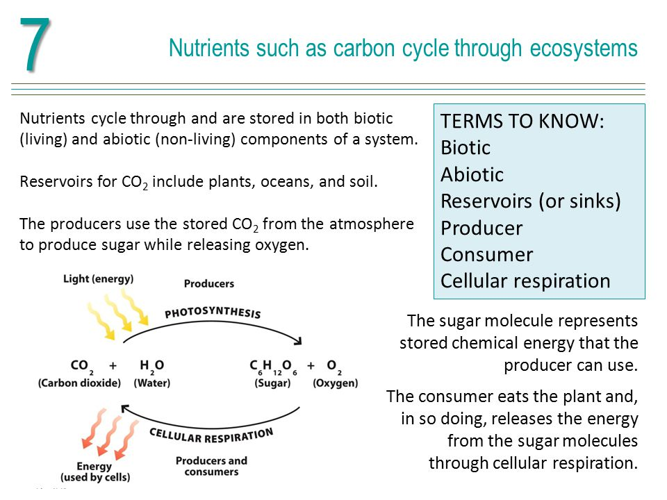7 Nutrients such as carbon cycle through ecosystems TERMS TO KNOW: