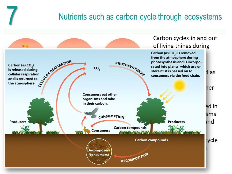 7 Nutrients such as carbon cycle through ecosystems