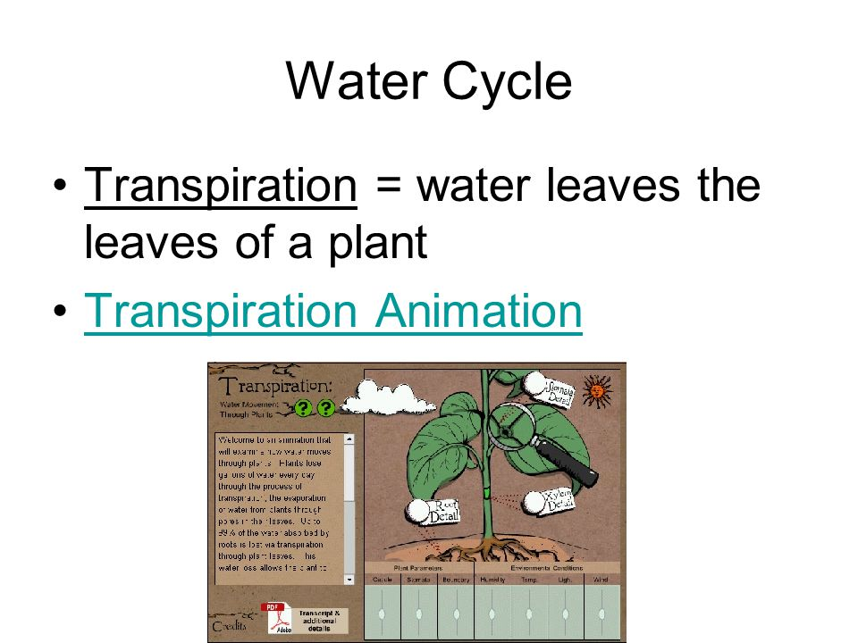 Water Cycle Transpiration = water leaves the leaves of a plant
