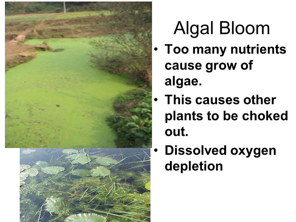 Algal Bloom Too many nutrients cause grow of algae.
