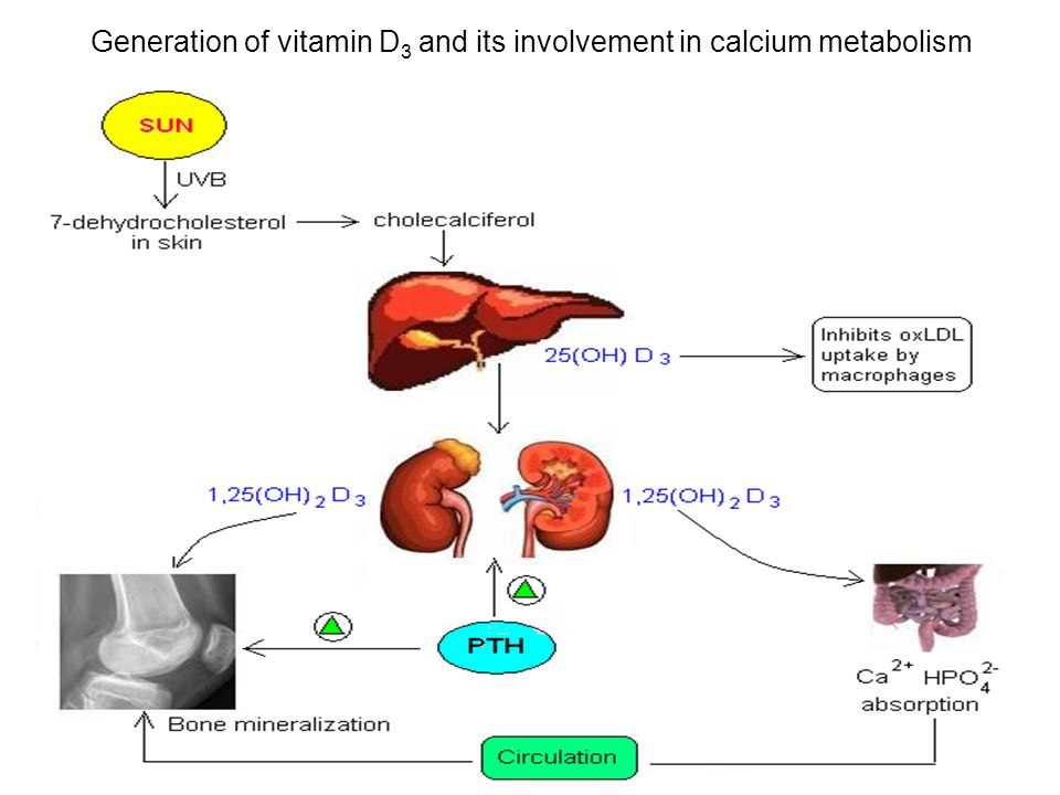 Generation of vitamin D3 and its involvement in calcium metabolism