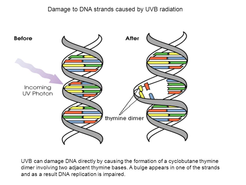 Damage to DNA strands caused by UVB radiation