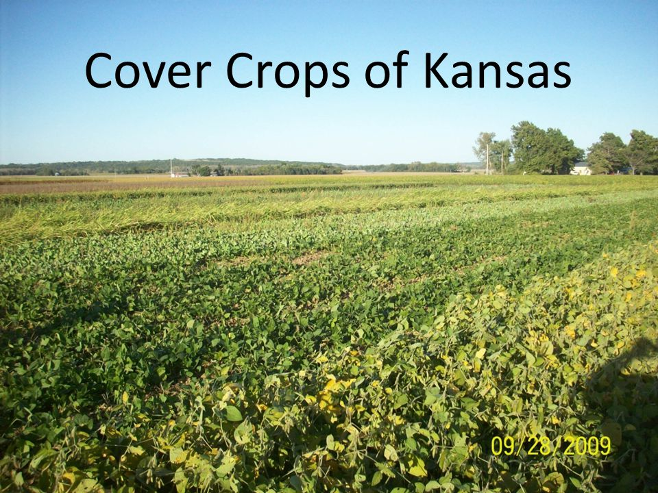 Cover Crops of Kansas