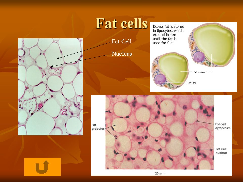 Fat cells Fat Cell Nucleus