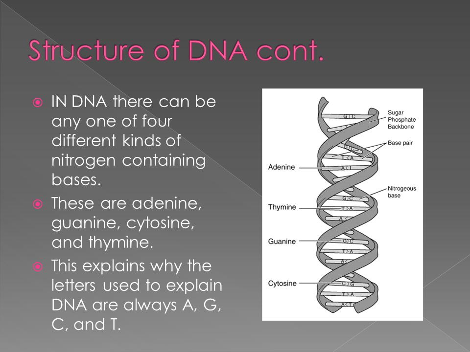 Structure of DNA cont. IN DNA there can be any one of four different kinds of nitrogen containing bases.