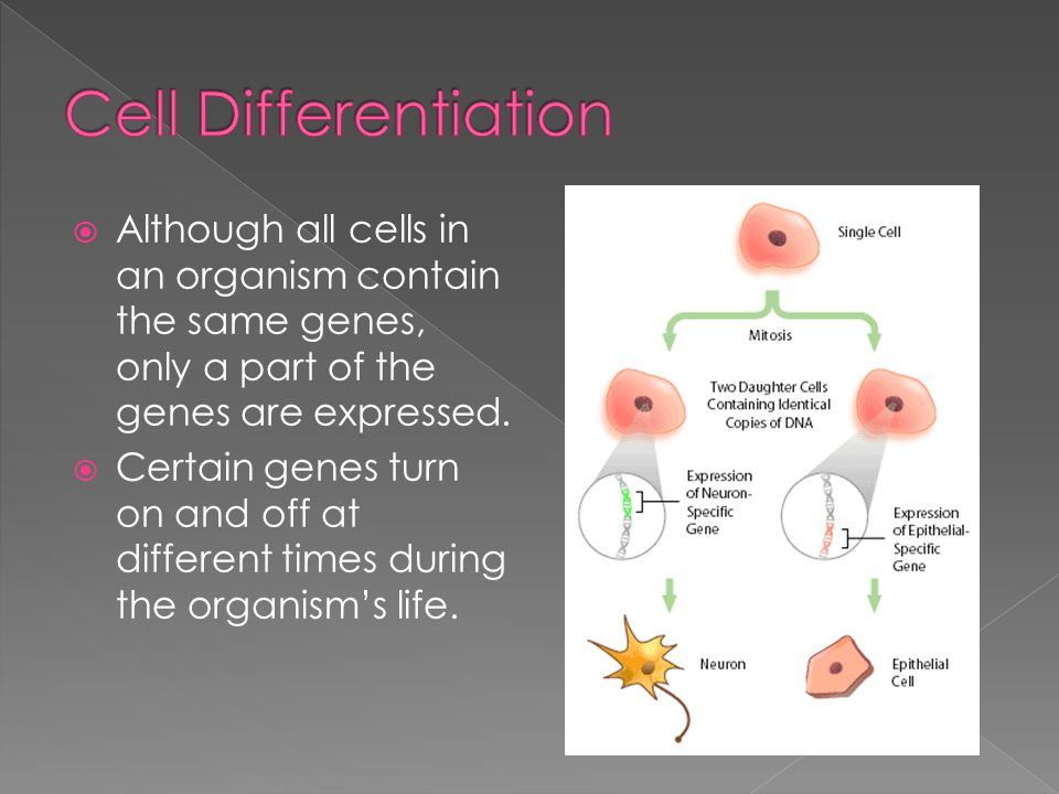 Cell Differentiation Although all cells in an organism contain the same genes, only a part of the genes are expressed.