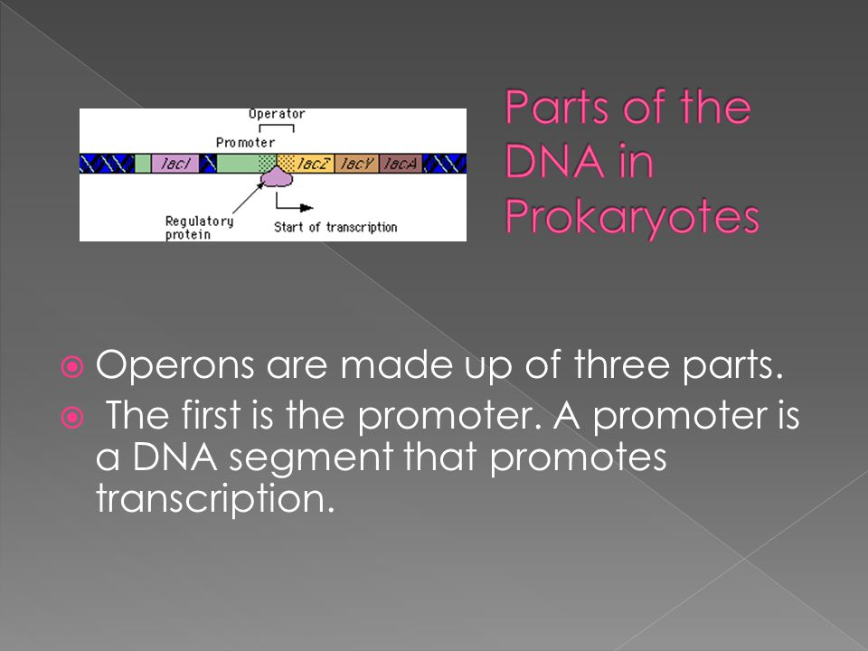Parts of the DNA in Prokaryotes