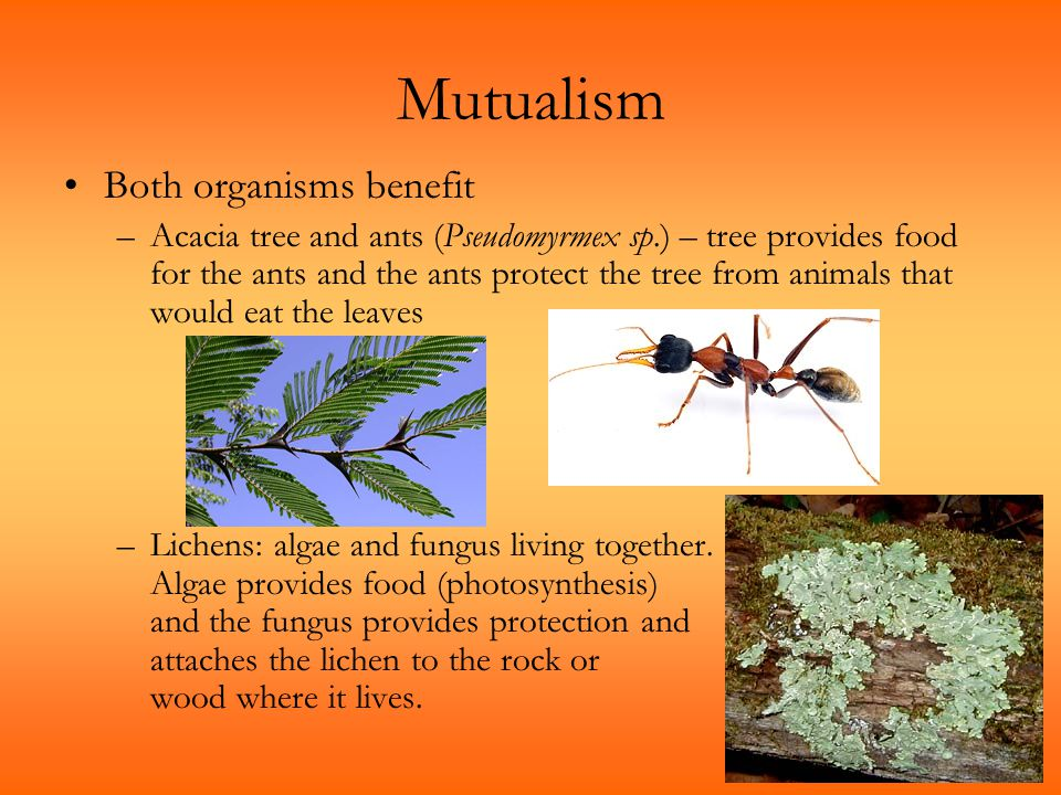 Mutualism Both organisms benefit