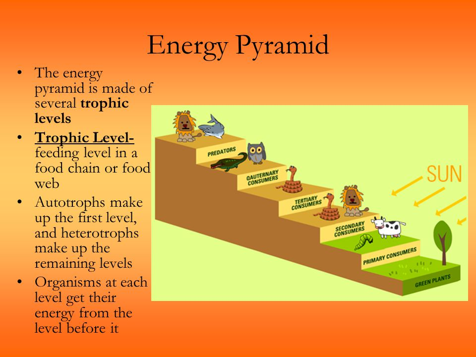 Energy Pyramid The energy pyramid is made of several trophic levels