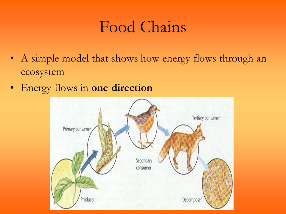 Food Chains A simple model that shows how energy flows through an ecosystem.