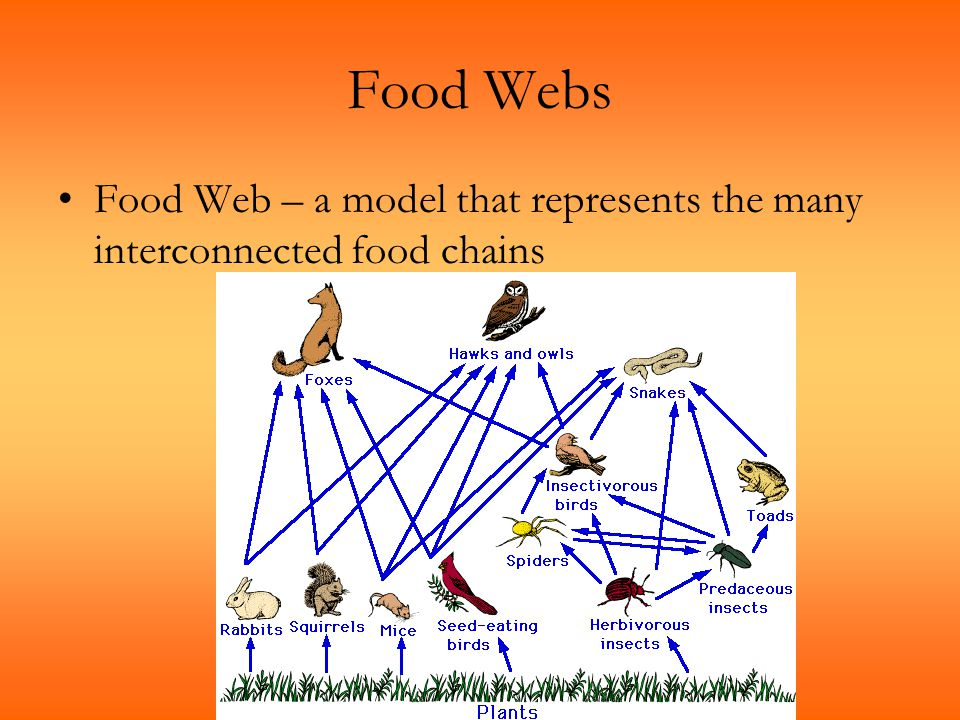 Food Webs Food Web – a model that represents the many interconnected food chains