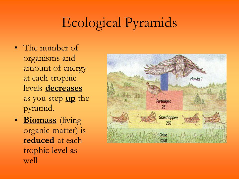 Ecological Pyramids The number of organisms and amount of energy at each trophic levels decreases as you step up the pyramid.