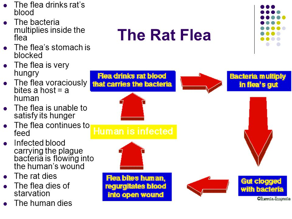 The Rat Flea The flea drinks rat's blood