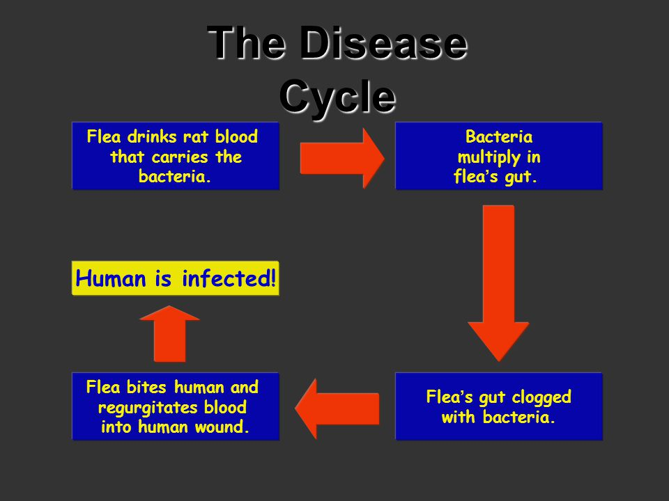 The Disease Cycle Human is infected!
