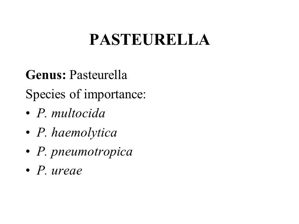 PASTEURELLA Genus: Pasteurella Species of importance: P. multocida