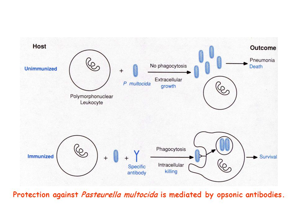 Protection against Pasteurella multocida is mediated by opsonic antibodies.